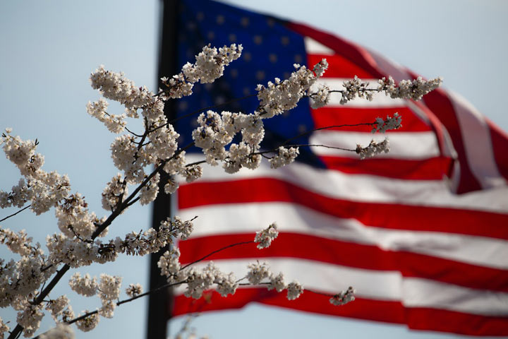 American flag flying behind cherry blossoms on tree