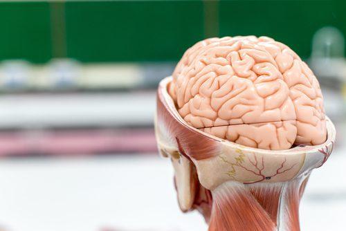 anatomy class prop model with brain